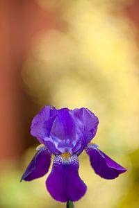 De paarse Iris
