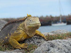 Galapagos Landleguaan