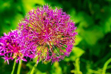 Allium (Zierpflanze) von Merijn Loch