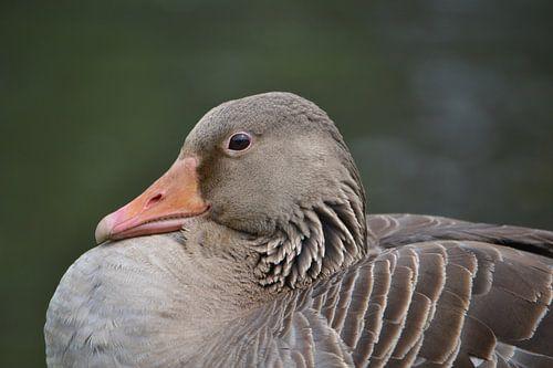 Close-up grauwe gans (Anser anser) van