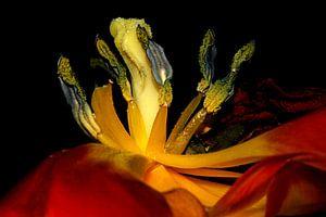 flammende tulpe von