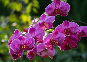 Orchidee Phaleanopsis lila blühend von Paul Nieuwendijk