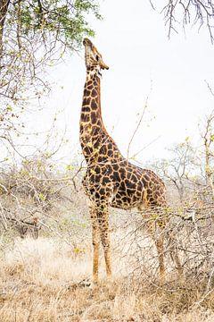 Giraffe von Björn Jeurgens