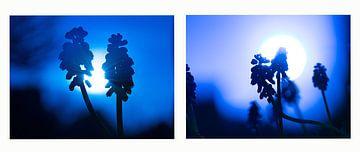 Collage aus blauen Trauben von Annie Jakobs