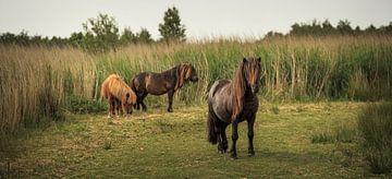 Wilde Ponys im Sumpfgebiet von Luis Boullosa