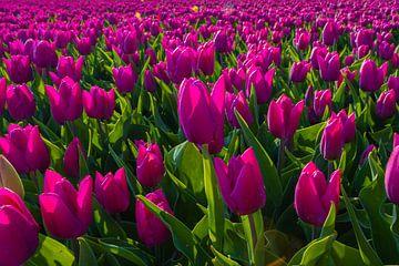 Feld mit rosa Tulpen von Yvonne Verlaan