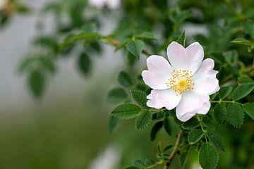 kleine Schönheit, Rosa canina von Anneliese Grünwald-Märkl