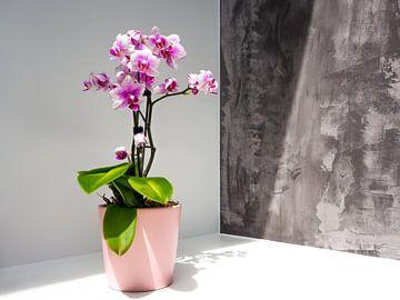 Orchidee - Roze orchidee bij zonlicht van Stijn Cleynhens