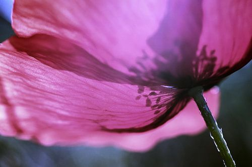 Transparence florale