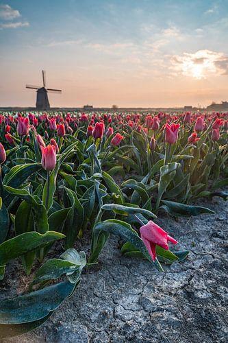 De molen en haar koude tulpen