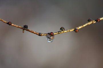 Waterdruppel aan tak van Martin van den Berg Mandy Steehouwer