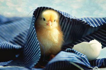 Little chick vers uit het ei van