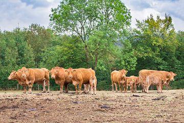 Gruppe braune Kühe stehen in deutscher Landschaft von Ben Schonewille