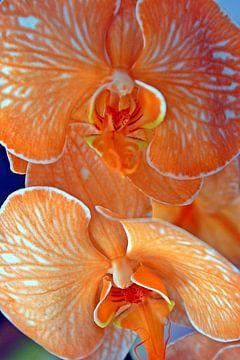 Orangen-Orchideen-Pflanzen von Remko van der Hoek- Zijdemans