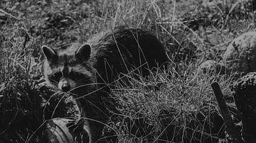wasbeer zwart wit van Tom Poelstra