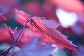 Bladeren van de Esdoorn in het late zonlicht van Eddy 't Jong
