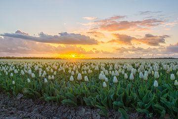 Zonsondergang op het tulpenveld in Holland van Wim Kanis