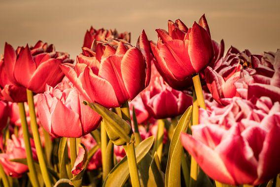 Nederlands tulpenveld. van Anjo ten Kate