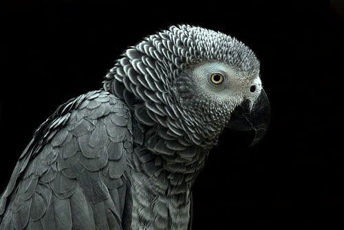Grijze roodstaart papegaai van MSP Photographics