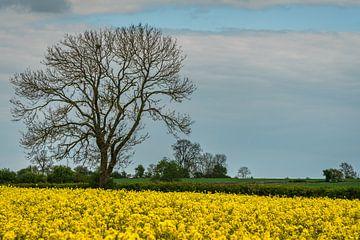 Rapsfeld mit einem großen Baum in England von Anges van der Logt