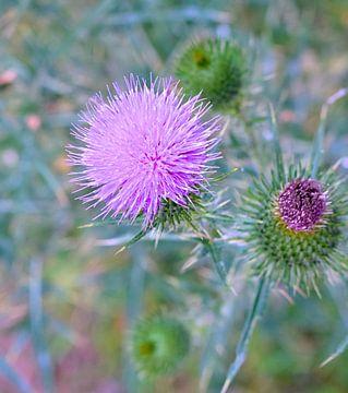 Macro fotografie distel  plant van Tessa Selleslaghs