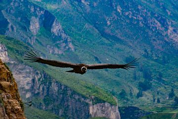 Kondor in Peru von Tanja de Mooij
