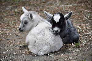 Zware en wit geitje knuffelen