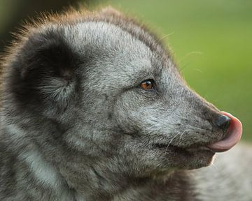Le renard arctique se lèche le nez sur Patrick van Bakkum