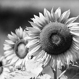 Sonnenblume Shwarzweiss von Frank Herrmann