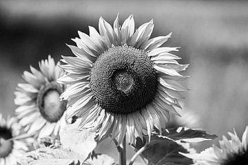 Zonnebloem zwart en wit