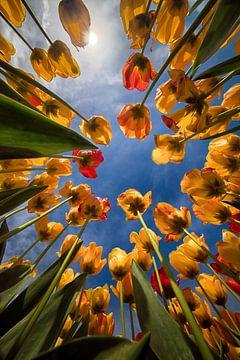 Tulpen van onderaf van Marjolijn van den Berg