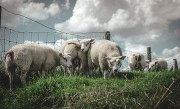 Verspielte Schafe von Jadey Smit