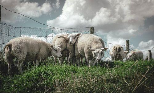 Speelse schapen