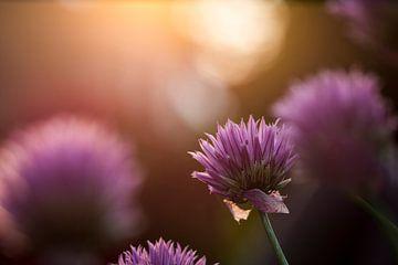 Blühender Schnittlauch von Hilda Koopmans