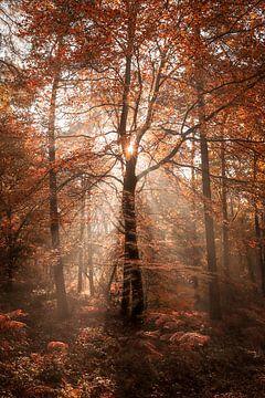 Zonnestralen in het rode bos van R. Maas