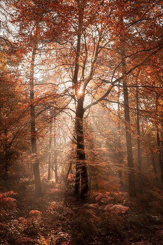Zonnestralen in het rode bos
