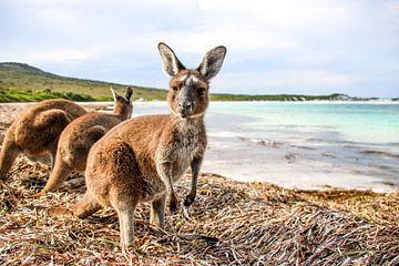 Australië: Kangoeroe op Tropisch Strand van The Book of Wandering