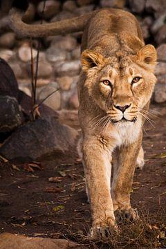 De blik van een roofdier is een leeuwin met heldere ogen. van Michael Semenov
