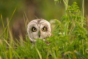 Velduil op Texel. Short-eared Owl at Texel. van Justin Sinner Pictures ( Fotograaf op Texel)