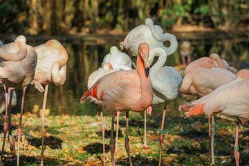 Flamingos van Jamy Danen