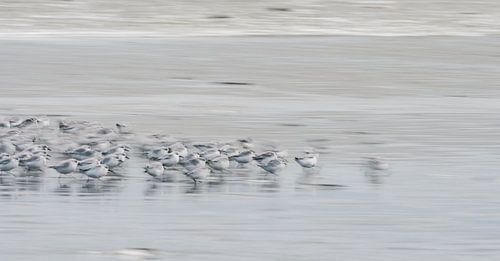 Rennende vogeltjes op het strand