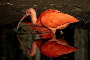 Rode Ibis van Abraham van Leeuwen