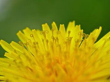 Paardebloem bloem van Barbara Hilmer-Schroeer