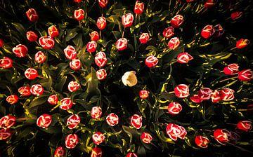 Hollandse tulpen van Martijn van Steenbergen