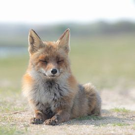 Sunbathing Red Fox! van Robert Kok