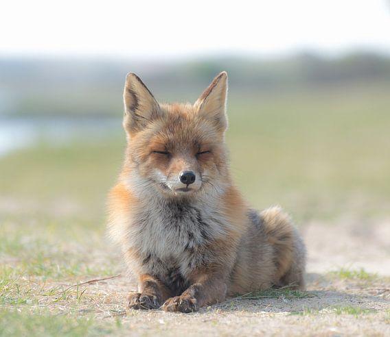 Sunbathing Red Fox!
