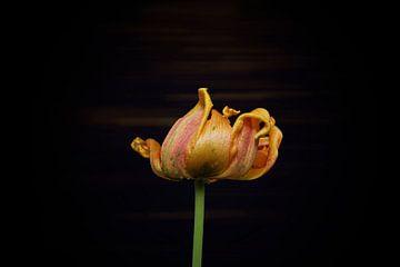 gelbe Tulpe am Ende ihrer Blüte mit subtilem Hintergrund von Ribbi The Artist
