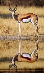 Springbok, Africa wildlife