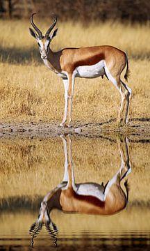 Springbok, Africa wildlife van