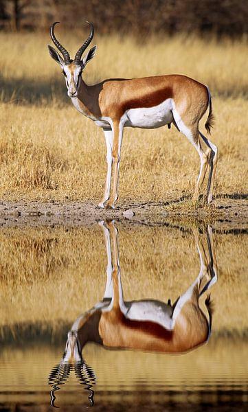 Springbok, Africa wildlife van W. Woyke